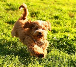 Available Labradoodle Puppies